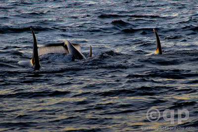 THREE ORCAS, TAILS UP AT SUNSET