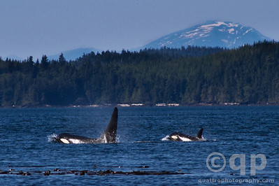 ORCA AND BABY ORCA FOLLOW THE LEADER