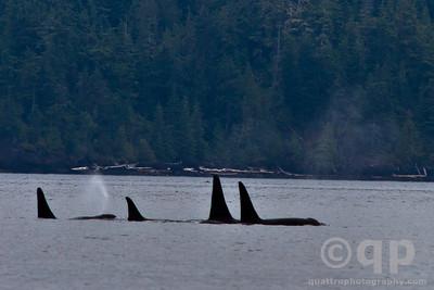 ORCA POD OF FOUR