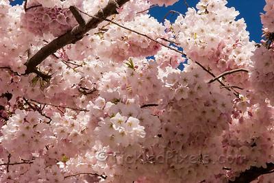 March Blossoms in Victoria, B.C.