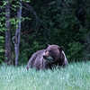 This is the time Bears come out of hibernation (about April 30th, his year). They are hungry after the long winter, and wander widely through their home range in search of Spring Dandelions and the new grasses.