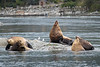 Campbell River, Water - Group of large sea lions on rocks in front of Sonora Resort