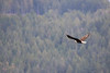 Campbell River, Water - Bald eagle flying in front of a distant forested hillside