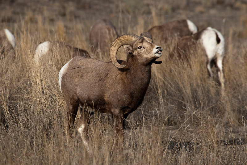 Bighorn Sheep - taken in the Chilcotin Grasslands, BC during the rut.