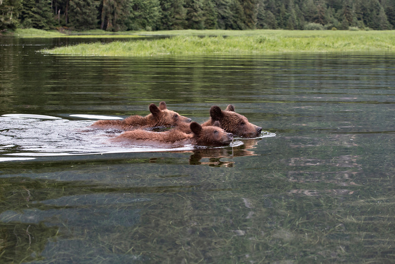 A Grizzly mother and her two cubs swim across the Estuary to islands rich with Sedge Grass. The water so clear and pure we can see to the bottom as they swim past our Zodiac.<br /> <br /> Filename - Grizzly_&_Cubs_02P0832-12x14