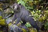 Campbell River, Toba Inlet - Grizzly bear looking at camera on rocks