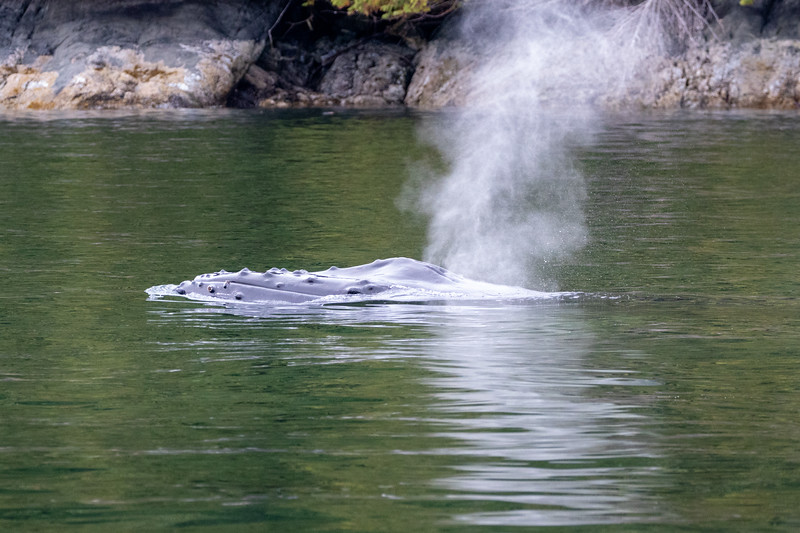 Campbell River, Water - Head of humpback whale peeking out of the water, with blowhole