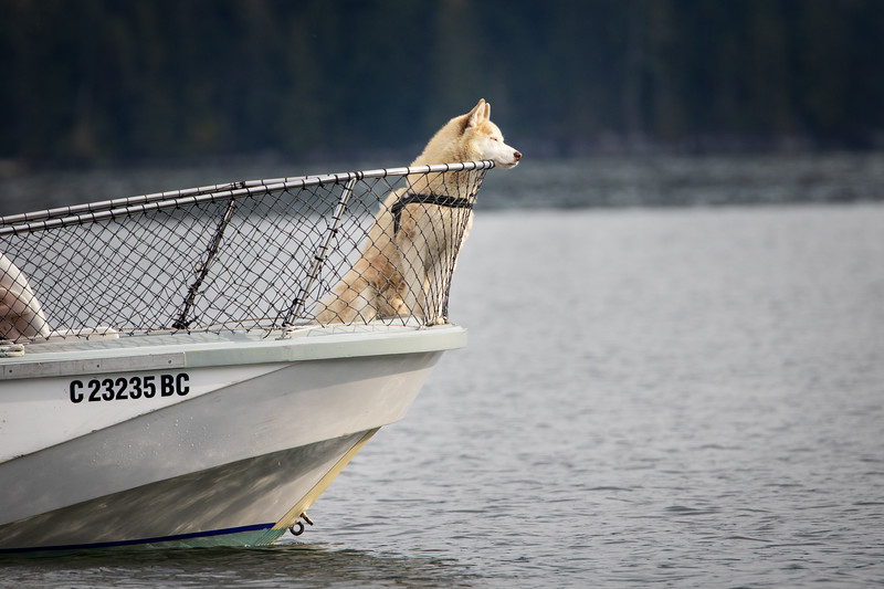 Campbell River, Water - Dog at the front of whale watching boat