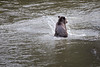 Campbell River, Toba Inlet - Grizzly bear playing in the river, facing away from camera