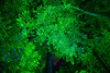 Vancouver Island, Butchart Gardens - Overhead view of trees with green laser Christmas lights