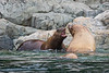 Campbell River, Water - Two sea lions barking at each other on rocks
