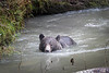 Campbell River, Toba Inlet - Grizzly bear swimming towards camera in the river
