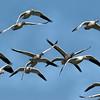 Snow Geese - Reifel Bird Sanctuary, Ladner, BC.