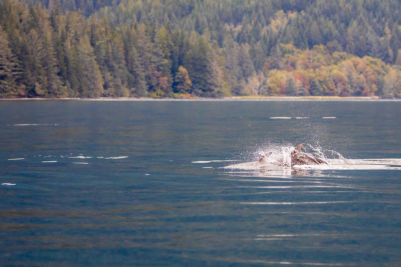 Campbell River, Water - Pod of Pacific Whitesided Dolphins playing in the waves