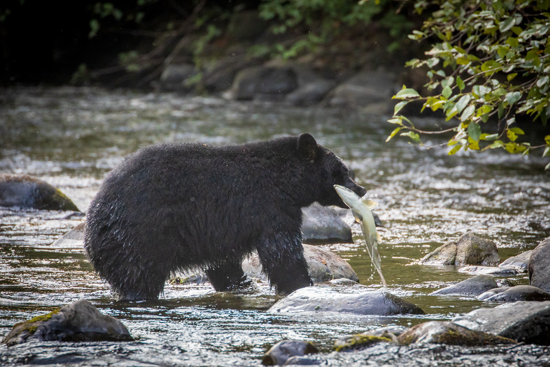 Campbell River, Quinsam - Black bear pulling salmon from river