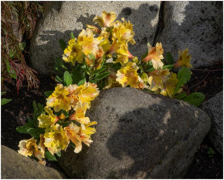 Yellow Flowers Between Rocks