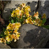 Yellow Flowers Between Rocks