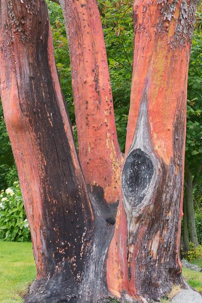 Arbutus (madrona) Tree