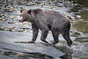 Campbell River, Toba Inlet - Grizzly bear walking on beach after exiting water