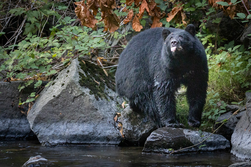 Campbell River, Quinsam - Black bear on rock sticking tongue out