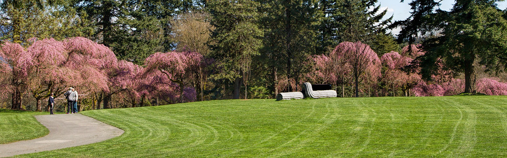 A Panorama of the Cherry Blossoms at VanDusen Gardens