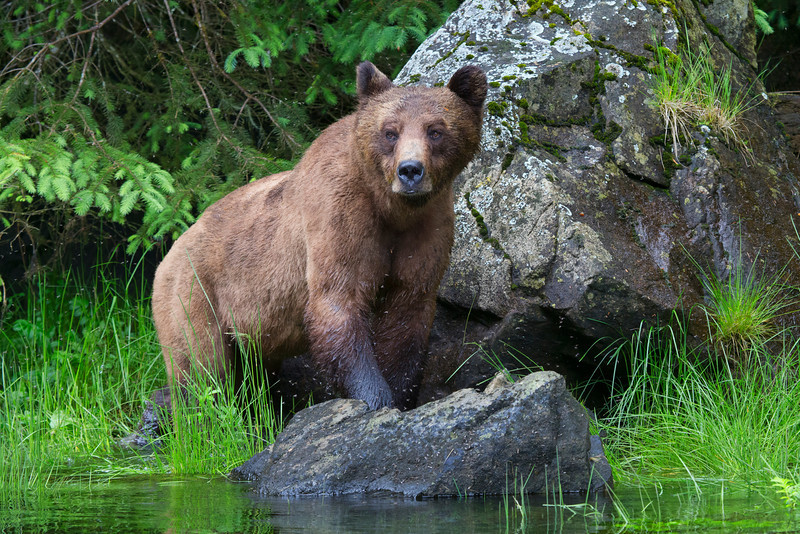 A Grizzly Bear in the Khutzeymateen, (a temperate rain forest) in British Columbia watches Seals who are swimming close to the shore in hopes of adding some protein to her meal of Sedge grass. The myriad of white dots are biting insects that are also looking for a meal. Fortunately her thick fur protects her from their sting.<br /> <br /> File name: Grizzly_02P0494-12x18