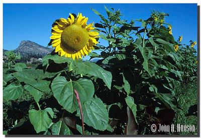 1943_BC-1-0129-NCS-BritishColumbia.jpg : Sunflower alongside Highway 97 at Summerland, BC