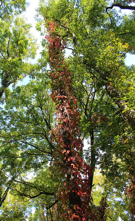 Red leaves of Fall on the hiking trail