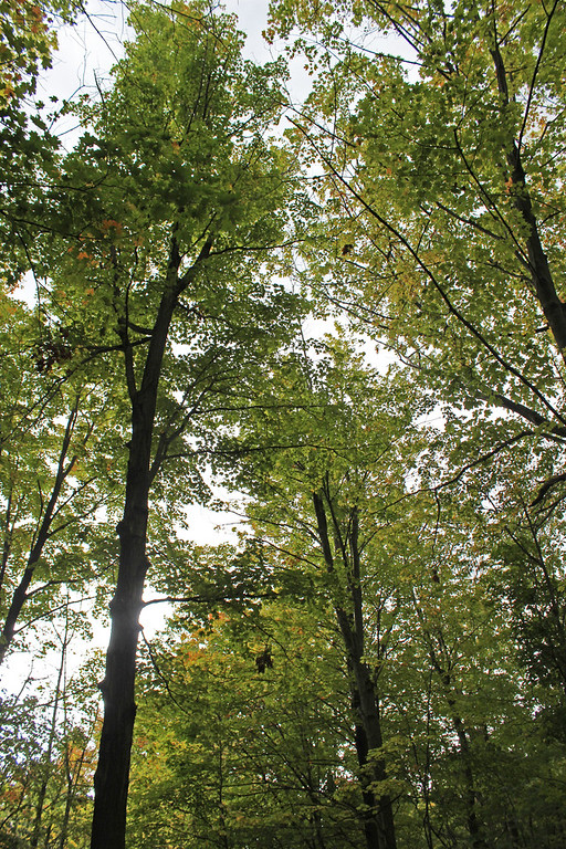 Tall trees in the forest, Niagara on the Lake