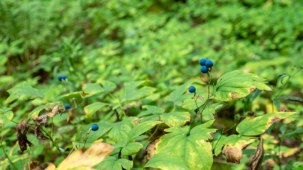 Berries on the Bruce Trail