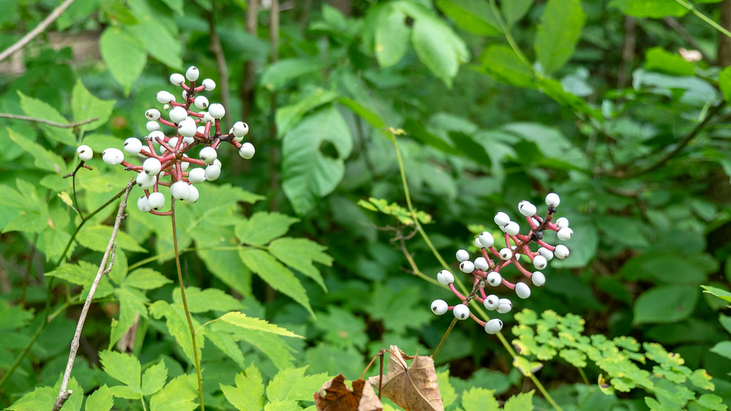 White berries on the Bruce Trail