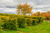 CANADA-QUEBEC-EASTERN TOWNSHIPS-Sutton-Winery