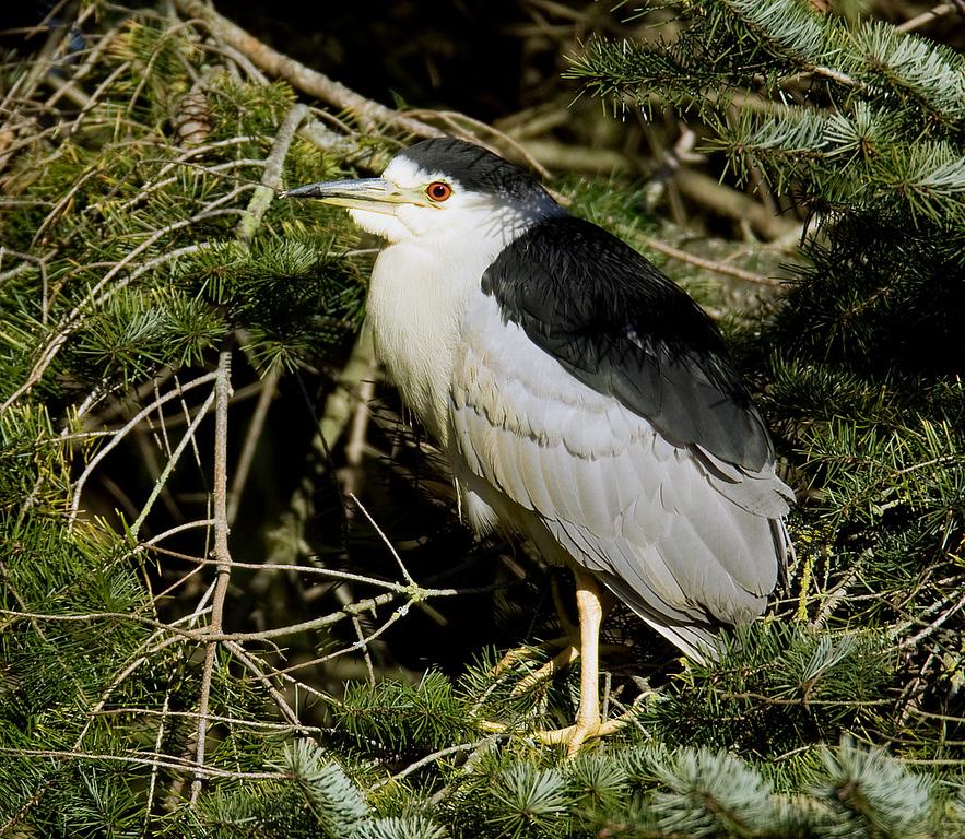 Black Crowned Night Heron - Reifel Bird Sanctuary - British Columbia