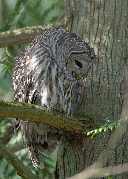 Barred Owl, Richmond BC