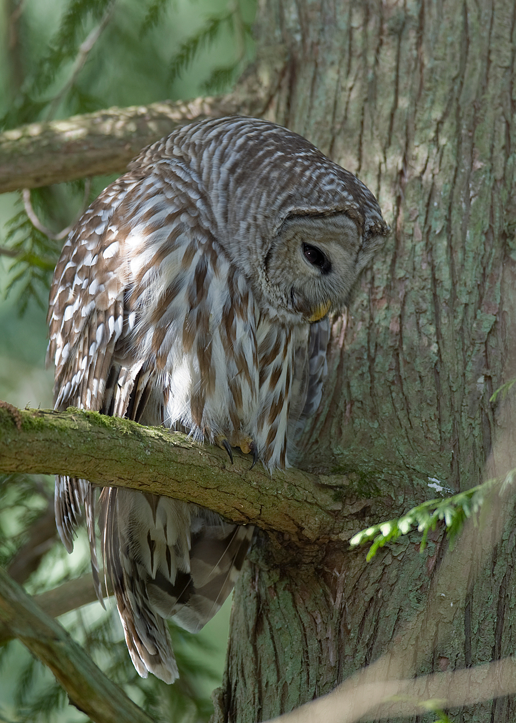Barred Owl, Richmond BC