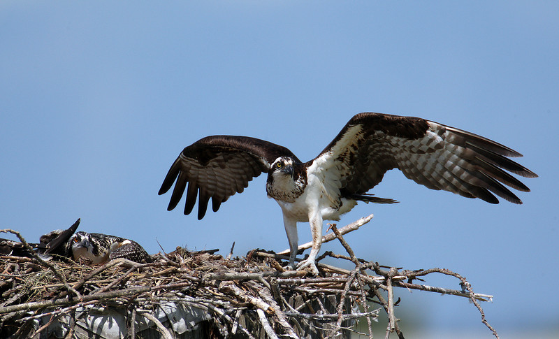 An Adult Osprey, one of the parents for these two chicks, now crouched in the nest to a danger alert prepares to chase off an intruding Osprey from endangering their chicks.