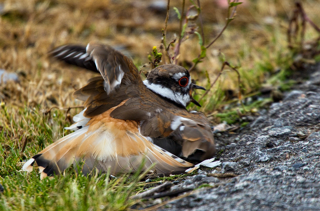 A Killdeer fakes injury to protect it's nest. Shot with a 600mm lens.