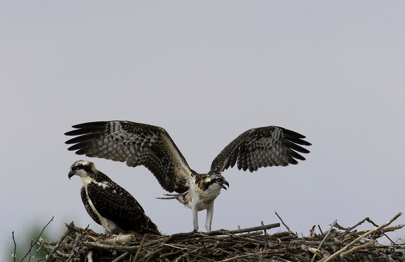 Osprey Chick stretching its wings