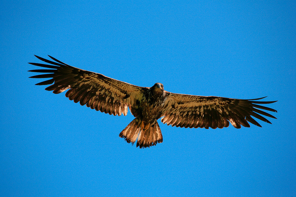 Juvenile Bald Eagle in late afternoon light - Brunswick Point, BC