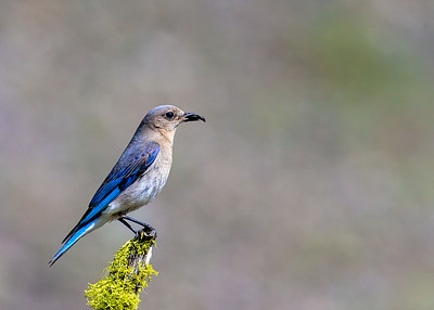 Mountain_Bluebird (Female)_With_Insect-P9945-16