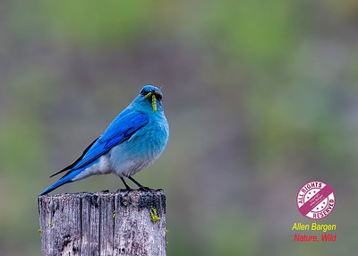 Mountain Bluebird (Male)-P91851-16S