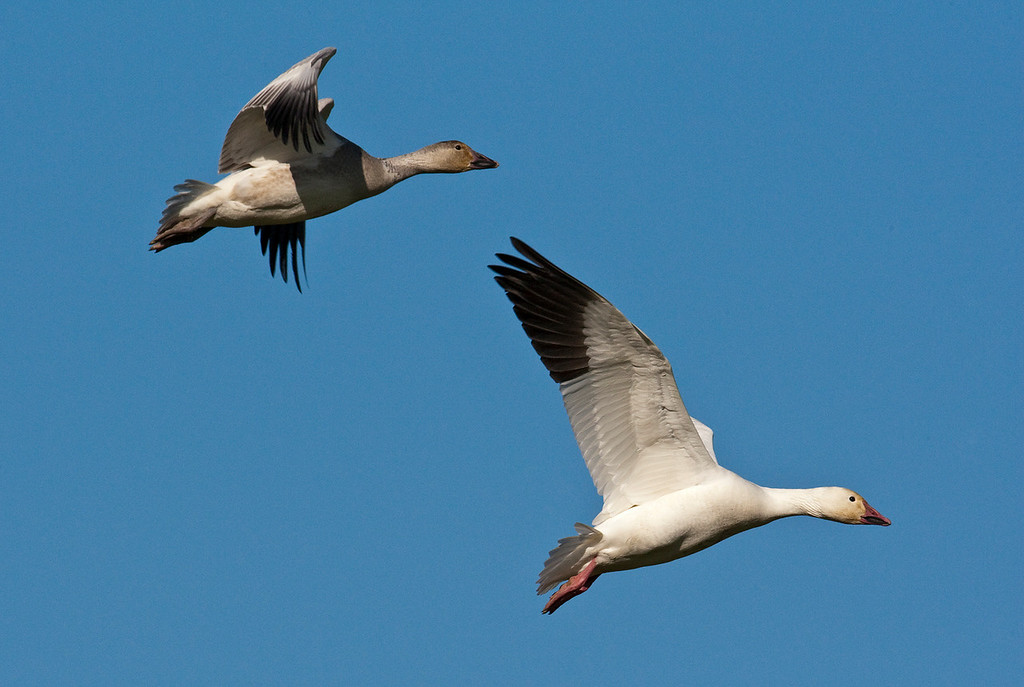 Juvenile and Adult Snow Goose at Terra Nova Park, Richmond BC