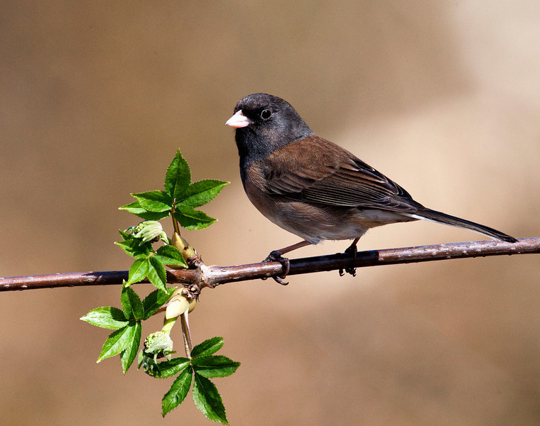 Junco (Male), Richmond British Columbia, Canada