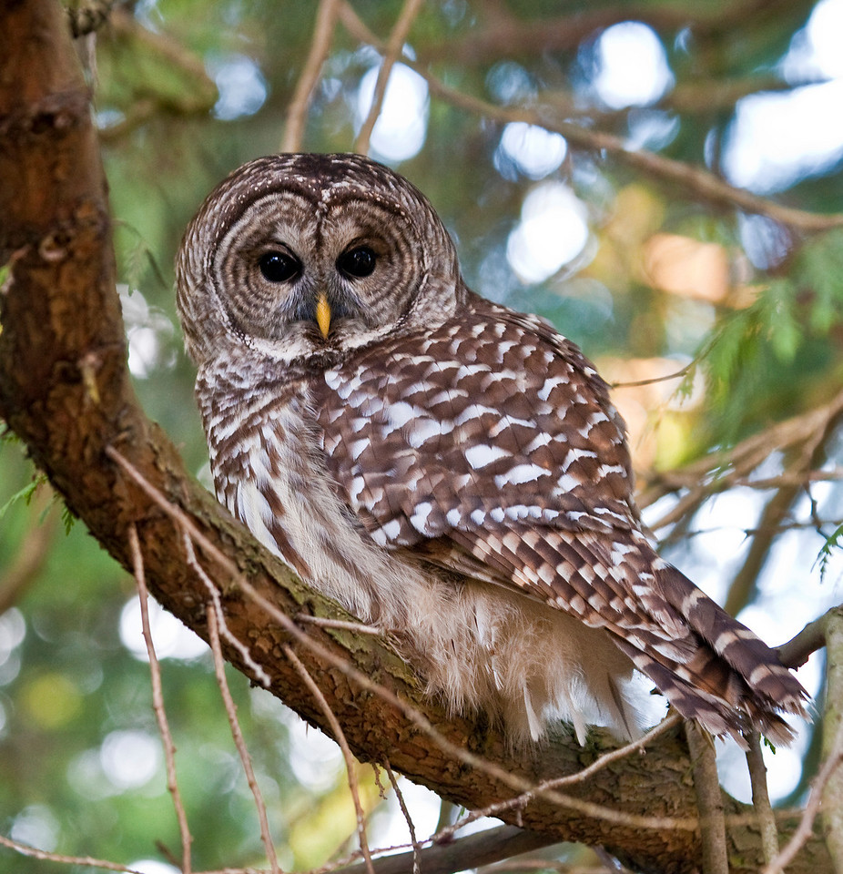 Barred Owl found in Queen Elizabeth Gardens, Vancouver BC