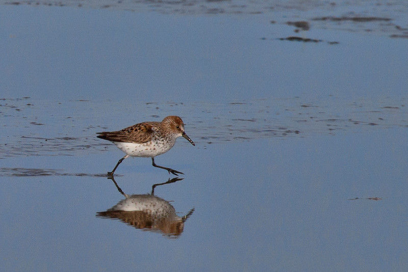 A Western Sandpiper walks through the shallows at low tide feeding on the nutrient rich Biofilm just offshore of Brunswick Point, in Ladner BC.