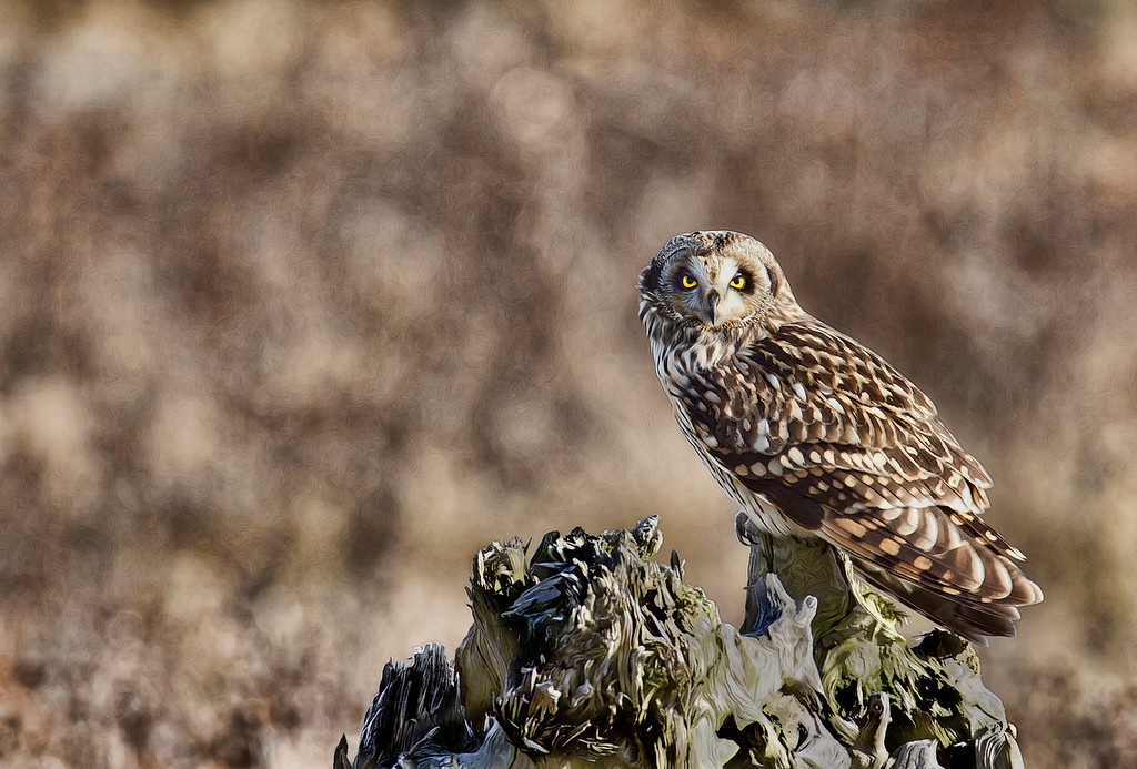 Short Eared Owl on a lookout perch