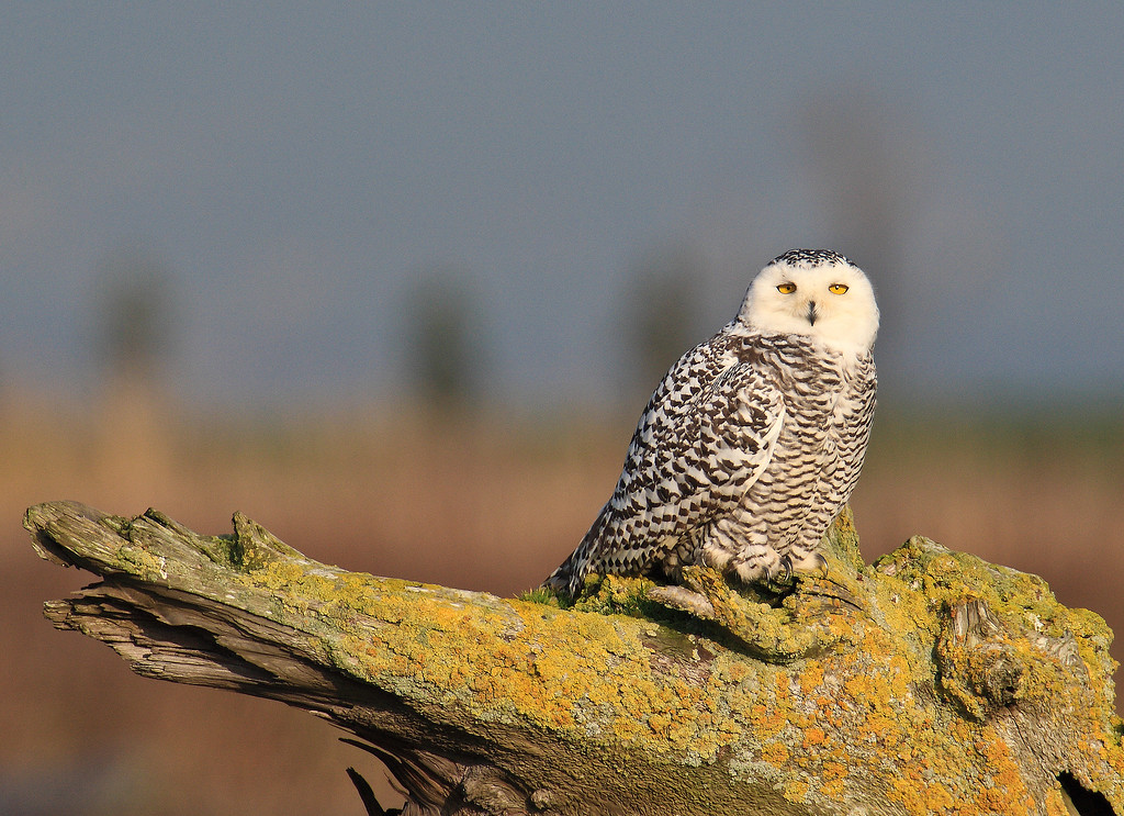 A Snowy Owl rests on a favorite perch, Boundary Bay, BC