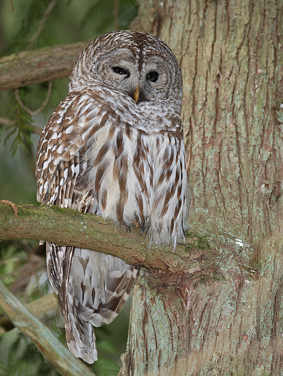 Barred Owl - Richmond BC