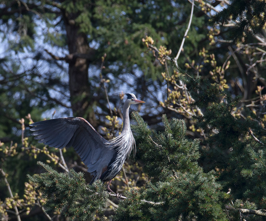 Great Blue Heron, taken at the Heronry in Tsawwassen, BC. where more than 300 nesting pairs are currently in residence.