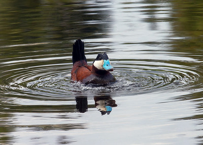 Ruddy_Duck(Male)_P9791-F1